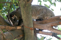Wild civet cat - the most expensive coffee in the world